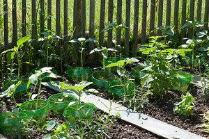 Sonnenblumen-Jungpflanzen mit Schneckenschutzring