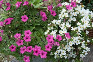 Petunie Mini Vista 'Hot Pink' und Schneeflockenblume Everest 'White Yeti'