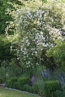 Ramblerrose 'Venusta Pendula' im Beet mit Katzenminze, Glockenblumen und Buchs-Hecke