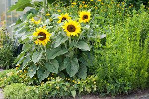 Gelbes Beet mit Sonnenblumen, Mädchenauge, Parakresse, Minze und Oregano