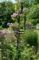 Ramblerrose 'Veilchenblau' an Rankstele im Beet
