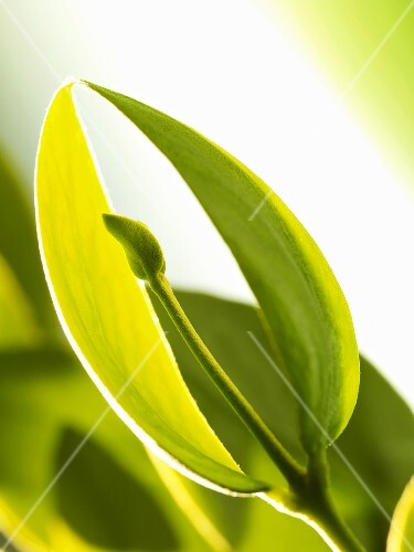 Leaf tips of the jojoba plant