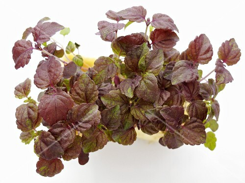 Red shiso (sprouts), seen from above