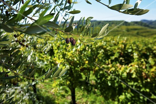 Olive trees and vineyards in Friaul, Collio, Italy