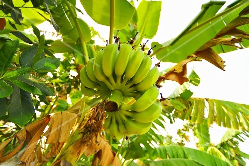 Bunch of bananas on the plant