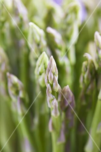 Green asparagus (close-up)