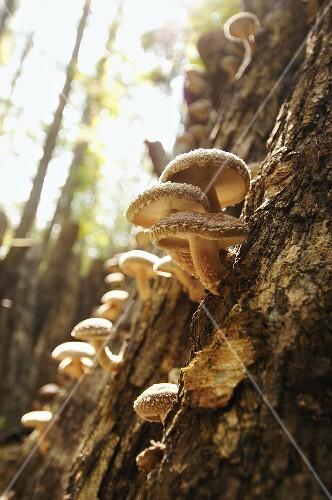 Shiitake Mushrooms Growing on an Oak in the Ozarks of Missouri