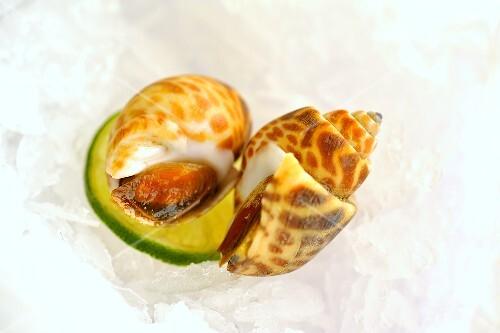 Babylonia spirata (sea snails)