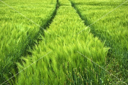 Tractor tyre marks in a barley field