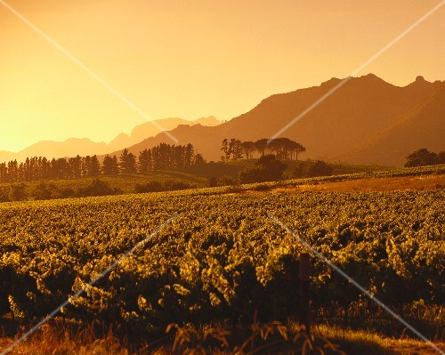 Wine-growing region in morning, Franschhoek, S. Africa