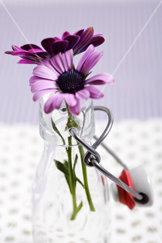 Two African daisies in a bottle