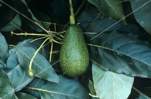 avocado am baum australien bild kaufen 870633 stockfood. Black Bedroom Furniture Sets. Home Design Ideas