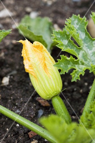 Courgette with flower on the plant