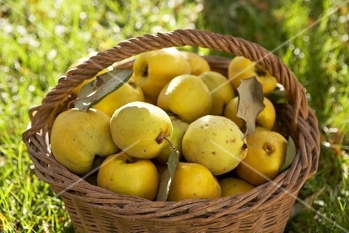 Fresh quinces in a basket on grass