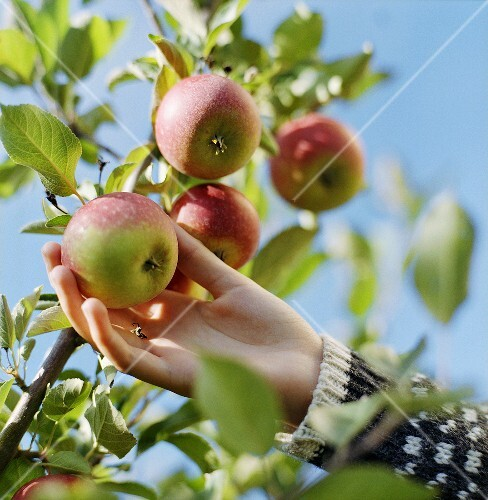 Hand picking an apple from the tree