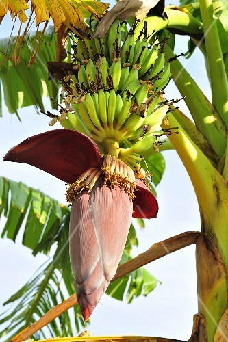 Banana plant with flower and fruit