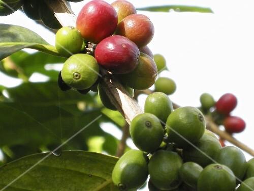 Coffee cherries on the bush