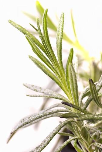 Sprig of lavender (close-up)