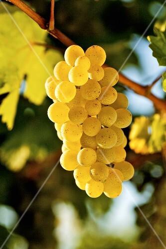 Ripe white wine grapes on vine (Grüner Veltliner, Lower Austria)