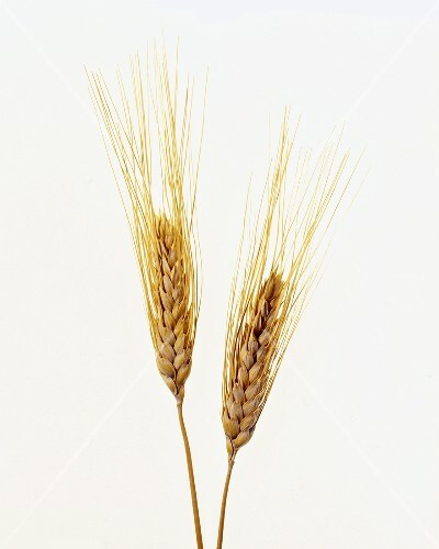 Two Wheat Stalks on White Background