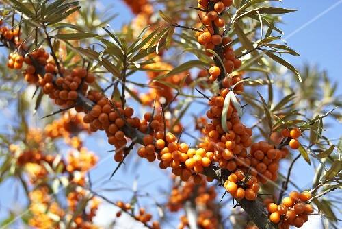 Sea buckthorn berries on the bush