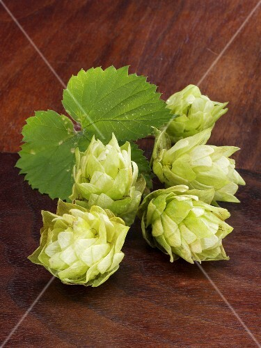 Fresh hop cones with leaves