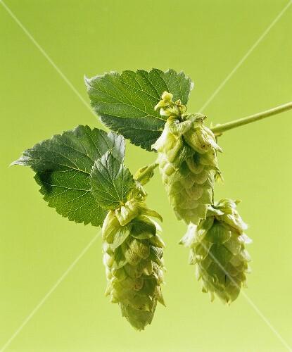 Sprig of hops