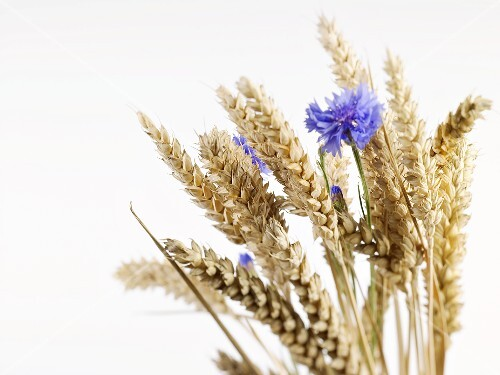 Ears of wheat with cornflowers