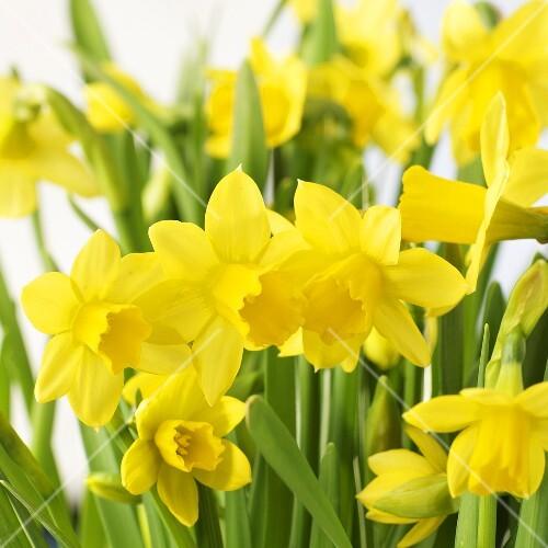 Flowering daffodils