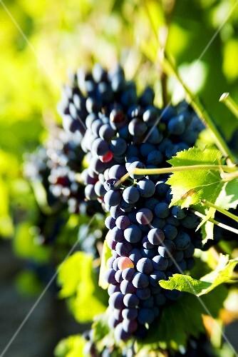 Syrah grapes, Mas Estela Estate, Costa Brava, Spain