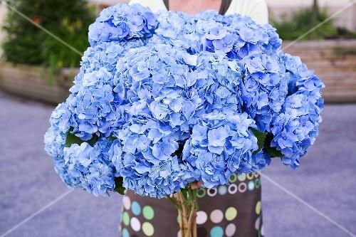 frau h lt grossen strauss blaue hortensien bild kaufen 952613 stockfood. Black Bedroom Furniture Sets. Home Design Ideas