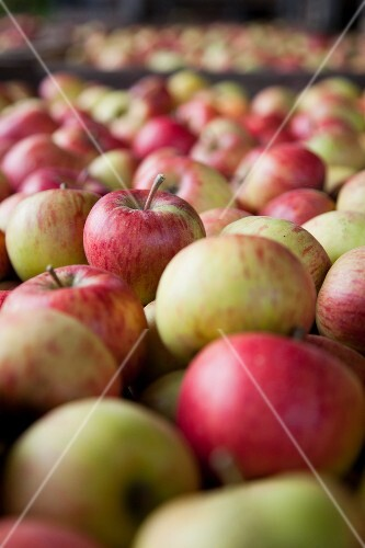 Freshly harvested apples in crates