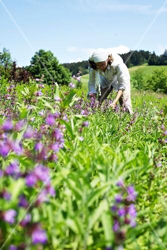 A woman harvesting sage flowers