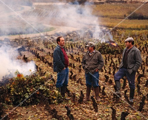 Burning the foliage after pruning the vines in the Cote d'Or, France
