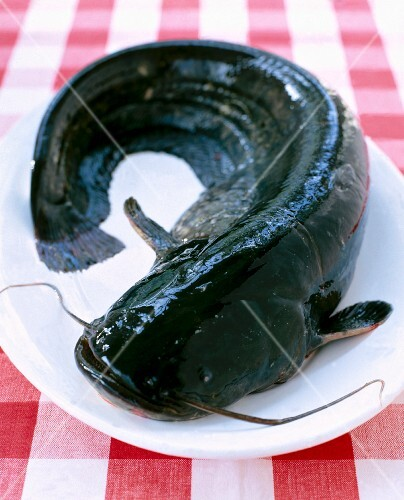 A raw wels catfish on a plate