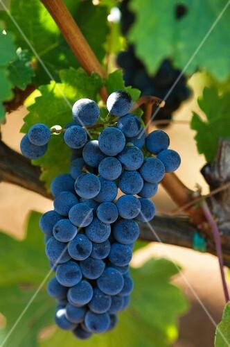 Cabernet-Sauvignon grapes on a vine