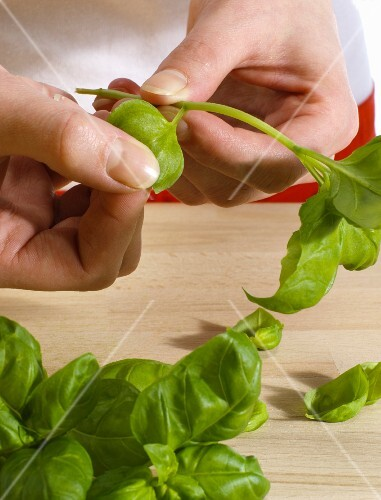 Basil leaves being plucked from a stalk