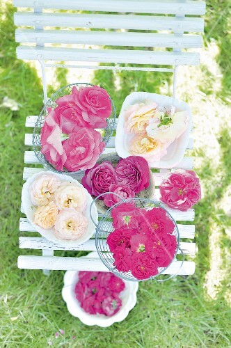 Freshly picked pink and white roses on a garden chair for making rose jam