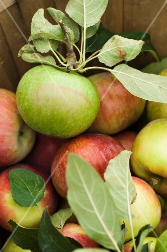 Freshly Picked Apples in a Basket; From Above