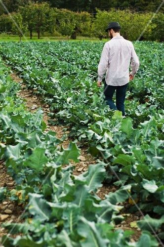 Man Walking Between Rows of Leafy Broccoli Greens on a Farm; Apple Orchard in Background