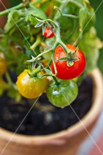 A cherry tomato plant in a flower pot