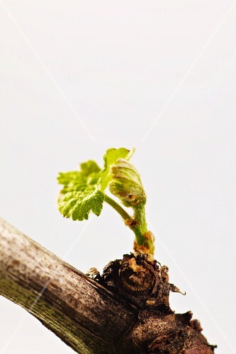 A vine with a young shoot