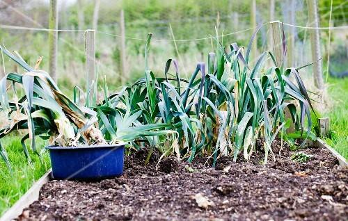 Leek being harvested