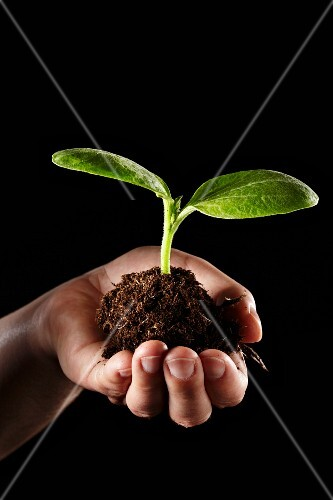 A hand holding a cucumber plant with soil