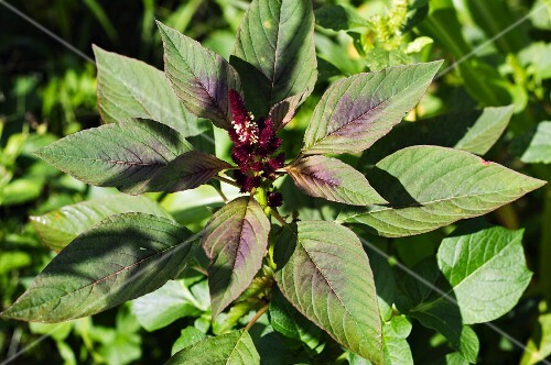 Amaranth in a garden