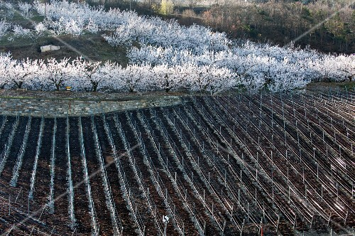 A newly planted vineyard and flowering apricots trees in Saxon, Valais (Switzerland)