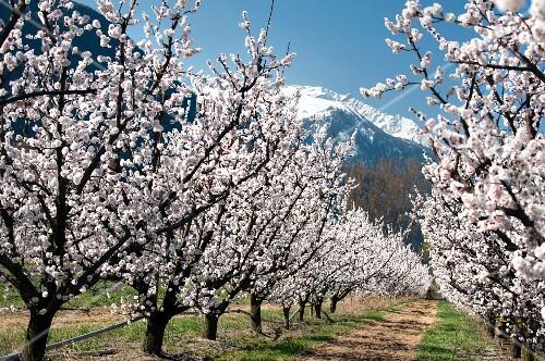 Two rows of apricots trees in full bloom, Charrat near Martigny (Switzerland)