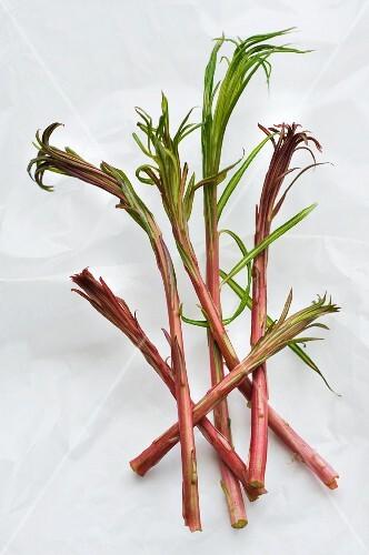 Weidenröschensprossen (Epilobium angustifolium)