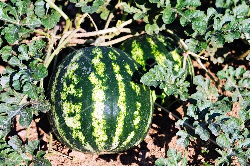 A watermelon in a field