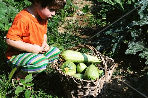 A little boy sitting in front of a basket of freshly picked courgettes